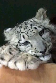 Cute Baby Animals, Animals And Pets, Funny Animals, Funny Stories For Kids, Mythical Creatures Art, Interesting Animals, Funny Animal Videos, Snow Leopard, Big Cats