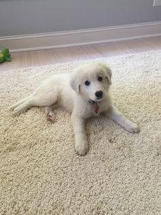 #maremma sheepdog 9 weeks old