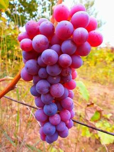 🍇👍 Exotic Fruit, Tropical Fruits, Healthy Fruits, Fruits And Vegetables, Beautiful Fruits, Beautiful Flowers, Jugo Natural, Fruit Picture, Wine Vineyards