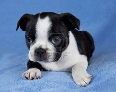 Boston Terrier Puppy Here is why I PawSitively love Boston Terrier