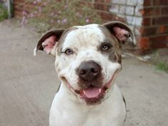 TO BE DESTROYED - 07/21/14 Brooklyn Center -P  My name is MAMA. My Animal ID # is A1006626. I am a female gray and white am pit bull ter mix. The shelter thinks I am about 1 YEAR 5 MONTHS old....