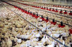 Comparaison des performances zootechniques entre deux souches de poules pondeuses (ISA Brown et LHOMANN Brown) au niveau de l'O.R.A.V.I.O. « Mellakou » Tiaret