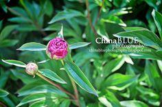 Peony Bud #spring #peony #photography