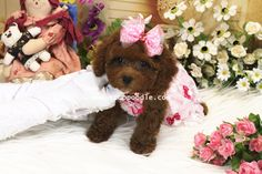Big Teacup Poodle no216   Date of Birth:2014/01/31 Color:Red Gender:Female Size:Big Teacup Poodle Estimated Adult Weight: around 2kg (4.4lb)  Please contact us for price quotes!  ♥Teacup Poodle♥Toy Poodle♥Pocket Poodle♥  YouLong Poodle Breeding Center http://52993344.com/en/ Poodleholics Please Contact Us: Cell: +886-975785398 Line ID : teddymommy75 Whatsapp : +886975785398 QQ: 603042543 SKYPE: teddy52999 Email: a5299.a3344@msa.hinet.net   Teacup Poodles Available for Sale – Wide…