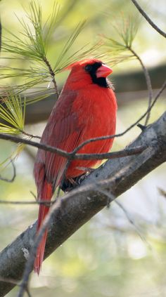 Cardinal In A Tree | Flickr - Photo Sharing!