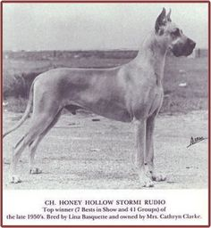 "CH Honey Hollow Stormi Rudio, rich golden fawn. Stormi produced one of the breed's greatest showdogs - CH Honey Hollow Broadway Jim. Anyone can look up the incredible contribution that Stormi, his progenitors and his progeny made to the Great Dane breed. Too bad that his legacy is tainted with the ""sour grapes"" attitude of his fellow show breeders. Their jealousy over Stormi Rudio's success in the show ring resulted in the infamous ""Color Code of Ethics"" by the GDCA."