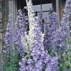 A robust mix of Campanula plants bearing blooms in shades of white, purple and blue. These pretty flowers are borne in abundance on tall, slender stems from May to July, making a wonderful addition to the middle of perennial borders. Perennial Plant, Hardy Perennials, Flowers Perennials, Planting Flowers, Tall Flowers, White Flowers, Beautiful Flowers, Gardens, Planters