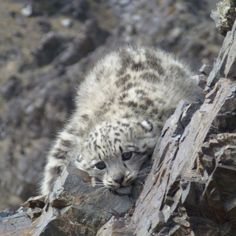 Snow Leopard Cub Adoption