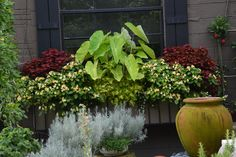 window box with lime alocasia     ...At A Glance: Labor Day at Dirt Simple, September 1, 2014