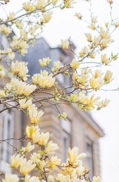 Paris Spring Photography, Yellow Magnolia Blossoms