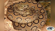 Daboia, most venomous snake, most poisonous snake, top ten venomous snake, top ten poisonous snake Scary Horror Games, Inland Taipan, Japanese Urban Legends, African Rainforest, Cursed Objects, Regions Of The Philippines, 10 Interesting Facts, The Venom, Pit Viper