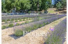 Bloom Your Own Lavender - New Pioneer Magazine