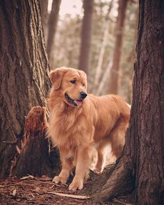 Find out more about the dedicated Golden Retriever Puppy … - Cats and Dogs House Perros Golden Retriever, Chien Golden Retriever, Funny Golden Retrievers, Cute Puppies Golden Retriever, Dog Photos, Dog Pictures, Funny Pictures, Retriever Puppy, Dog Photography