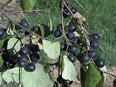Mustang grape wine (Vitis Mustangensis, Vitis Candicans)
