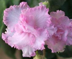 Balchug Intuition Russian African Semi Mini Violet in Bloom Trailer | eBay…
