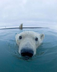 polar bear, my fav!