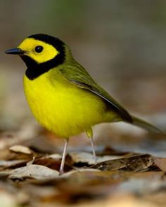 The hooded warbler (Setophaga citrina) is a New World warbler. It breeds in eastern North America and across the eastern United States and into southernmost Canada, (Ontario). It is migratory, wintering in Central America and the West Indies. Hooded warblers are very rare vagrants to western Europe.