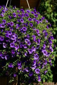 Purple Million Bells , Lila Zauberglöckchen auf dem Balkon als Unterbepflanzung