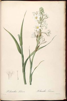 37306 Polianthes tuberosa L. / Redouté, P.J., Les Liliacées, vol. 3: t. 147 (1805-1816) [P.J. Redouté]