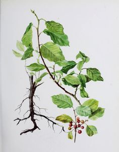 Botanical illustration, nature, flowers, berries
