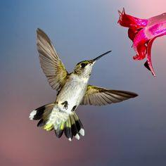 beija_flor_voando_no_fundo_azul_natural_do_ceu_c9750b7912ff7af931d4fb227032ee18_beija flor (2).jpg (1024×1024)
