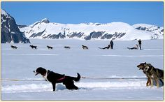 With Alaska dog sledding tours by Alaska Heli-Mush, fly into a remote camp by helicopter and dog sled across the remarkable glacier landscape.