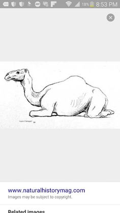 Camel sketch laying down