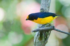 Foto gaturamo-verdadeiro (Euphonia violacea) por Ivan Angelo   Wiki Aves - A Enciclopédia das Aves do Brasil