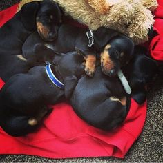 What a sweet little pile of babies! 😊❤ my buggee, is a black and tan, I bet she looked like this when she was tiny! 😊 my daughter got her for me, she was a rescue! She needed me, as much as I needed her! ❤❤❤😊💗🐾!