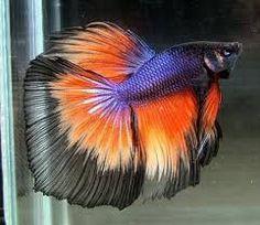 * Awesome Multicoloured Siamese Betta / Fighting Fish