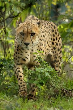 Cheetah ~ by S.Chamb