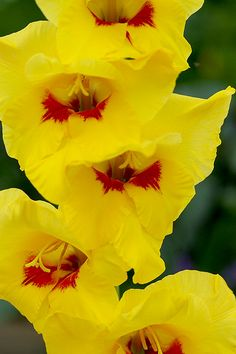 (•ॢ◡-ॢ)                                                    Flowers: yellow gladiolus