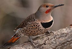 Northern Flicker, just saw this bird outside my window!