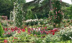 Rosige Vielfalt: Rosenklassen im Überblick -  Rosen gibt es in allen erdenklichen Wuchsformen und Größen und für fast alle Gartensituationen. Wir stellen Ihnen die wichtigsten Rosenklassen und spezielle Varianten vor.