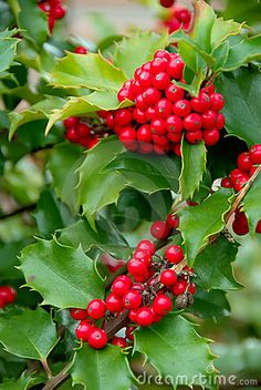 Holly has a sacredness to all developed pre-Christian cultures, especially with its properties for prophetic dreams, hallucinations & magic. Throughout Europe holly was believed to repel evil, & this belief lingers to the modern day. An old tradition of bringing holly boughs into one's house in winter, as a place for good fairies to play, when holly wreaths are brought indoors to await the arrival of the winter elf king Santa.
