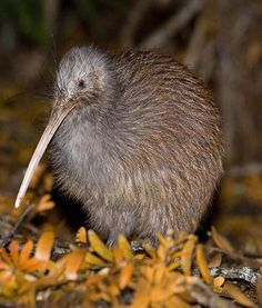 KIWI  --  Family: Apterygidae  --  Habitat: Forests of New Zealand  --  Fun Fact:  Kiwis are the only birds with nostrils on the ends of their beaks, and one of the few fliers with highly a developed sense of smell.
