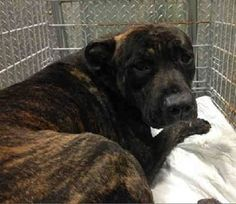 SUPER URGENT 11/29/14 Brooklyn Center   HERMES - A1021878 ***MUST LEAVE TONIGHT 11/29/14 BY 6 PM****  MALE, BR BRINDLE / WHITE, PIT BULL MIX, 1 yr STRAY - STRAY WAIT, NO HOLD Reason STRAY  Intake condition EXAM REQ Intake Date 11/29/2014, From NY 11207, DueOut Date 12/02/2014, Medical Behavior Evaluation GREEN   https://www.facebook.com/Urgentdeathrowdogs/photos/a.617942388218644.1073741870.152876678058553/913649025314644/?type=3&theater