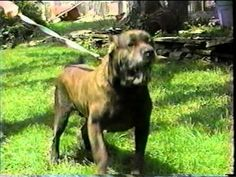 Dogs that Protect   Cane Corso