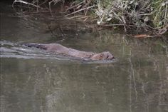 A reader shared this photo of a mink swimming in one of the streams in Cades Cove.