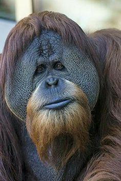 Orangutan,San Diego Zoo (by Official San Diego Zoo) si è fatto crescere barba e capelli Nature Animals, Animals And Pets, Funny Animals, Cute Animals, Primates, Beautiful Creatures, Animals Beautiful, Big And Beautiful, Regard Animal