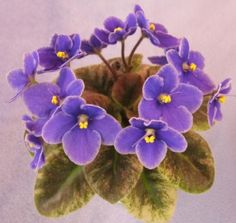 Robs Dodo Bird - The Violet Barn - African Violets and More