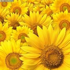 30 Mini Sunflower( Dwarf Sunflower )Seeds *** Don't get left behind, see this great product : Gardening Flowers