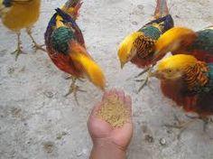 Resultado de imagen de gallinas sedosas del japon precio