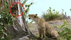 A Lioness Killed A Baboon And The Baby Was Left Alone. What Happened Next Is Unbelievable   EMGN