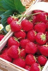 Strawberry Elsanta  - Plants