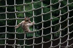 Berberaapje aan het klimmen #apenheul