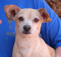Jack Jack, homeless due to his previous owners' divorce, is heartbroken and confused.  He is exceptional with cats, dogs, and kids, plus housetrained too.  Jack Jack is a cream & gold Chihuahua mix with big, cup-like ears, 5 years of age and neutered, and debuting for adoption today at Nevada SPCA (www.nevadaspca.org).