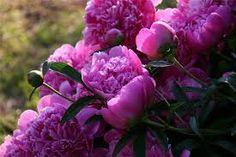 Картинки по запросу пурпурные пионы