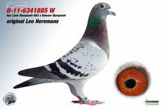 Orig. Heremans - Auktions-Nummer 292484 - Die professionelle Brieftauben-Auktion!