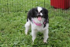 Sparkle a Japanese Chin • Adult • Female • Small Luvachin Rescue Redwood Falls, MN